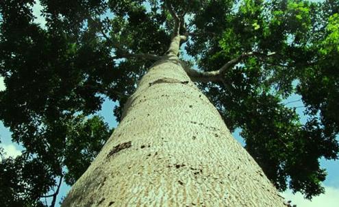 árvore de mogno africano vista de baixo, com tronco largo e copa verde escura e densa