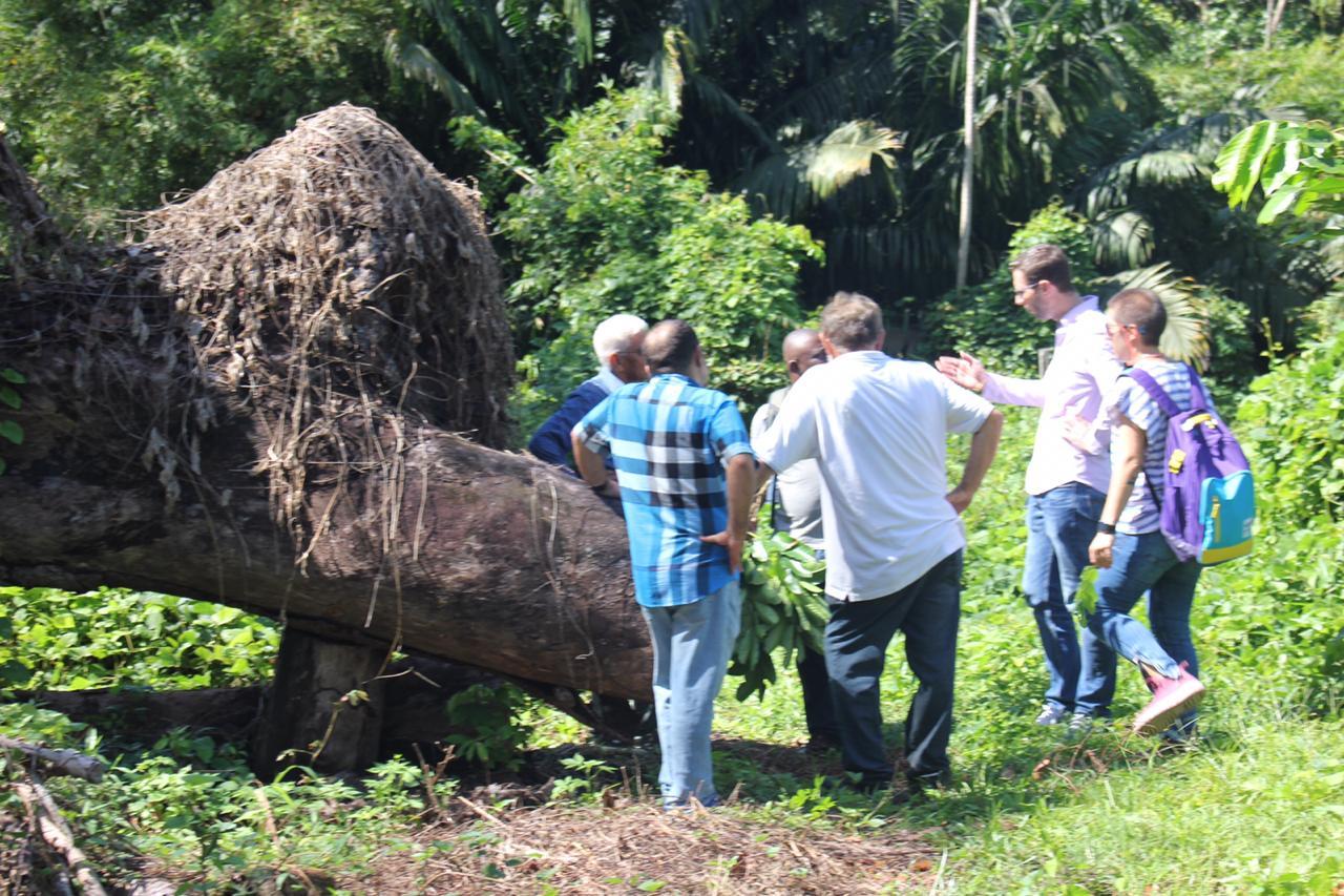 ávore seminal caida após ventania, com um grupo de homens ao lado