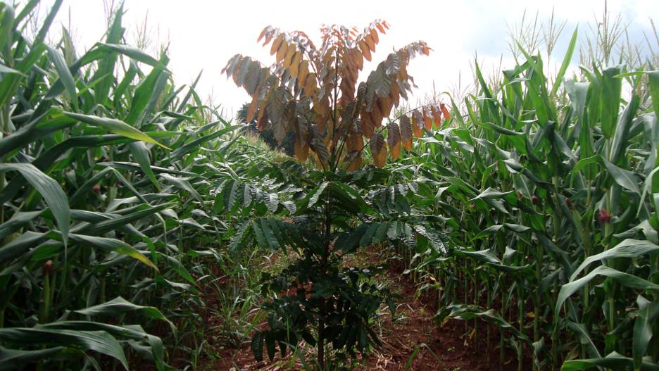 Uma muda de mogno africano com folhas avermelhadas em meio a pés de milho, ilustrando um sistema de consórcio do mogno com o milho.