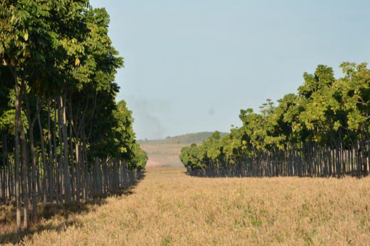 Árvores de mogno africano em volta de uma área de pasto com capim amarelado, ilustrando o consórcio do mogno com o gado e o capim para pastagem.