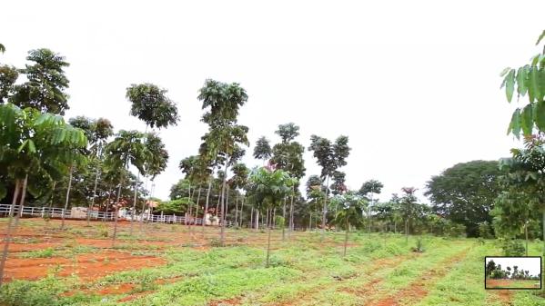 Área de testes de mudas de Khaya grandifoliola no Viveiro Origem